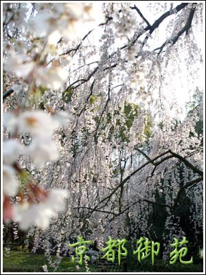 御苑枝垂れ桜
