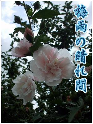 蕾がいっぱいのお花